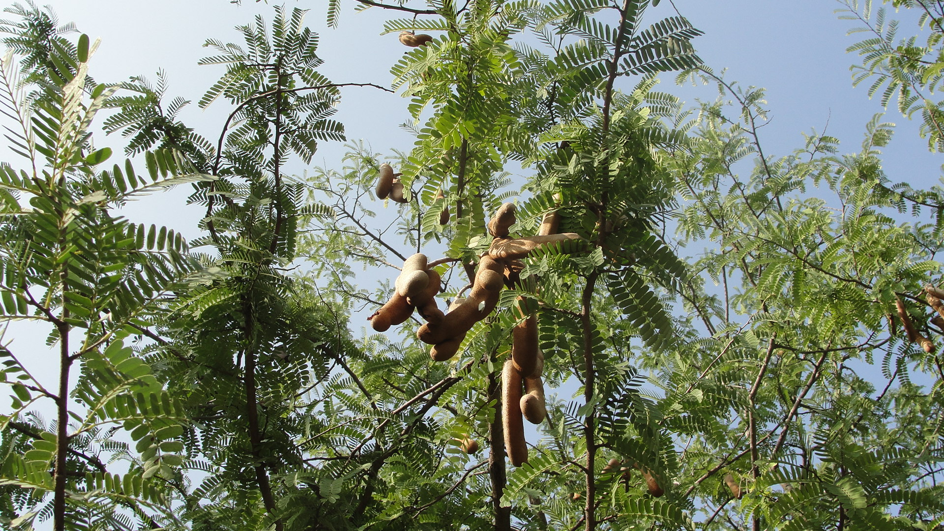 Tamarind Tree Fruit