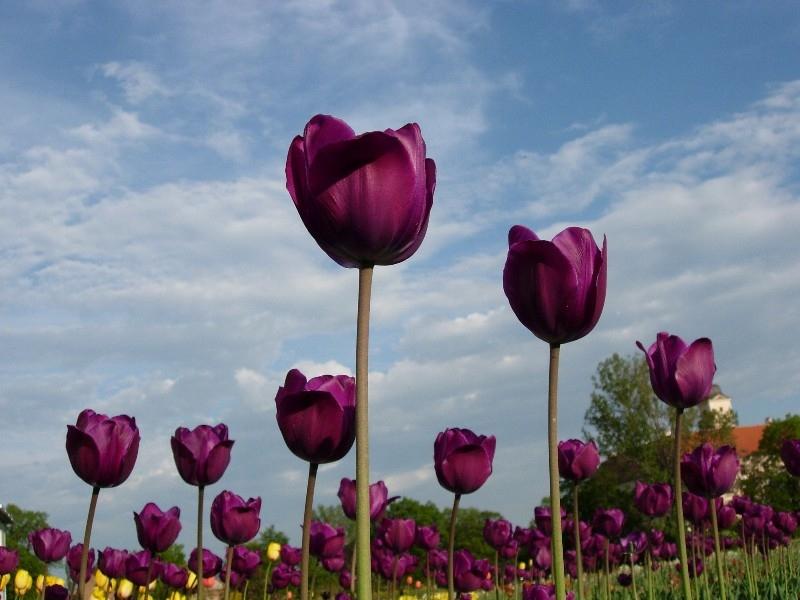 File:Violett tulips.jpg