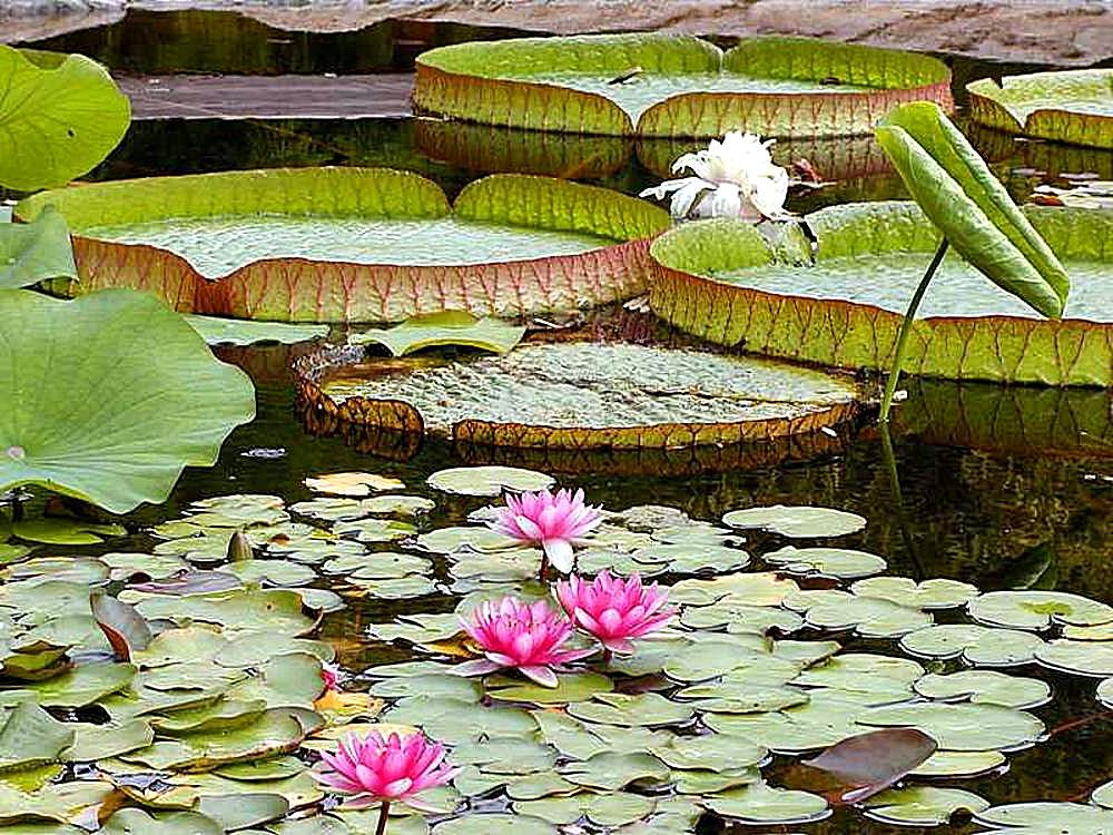File Water Lily Pads Ponds Jpg Wikimedia Commons