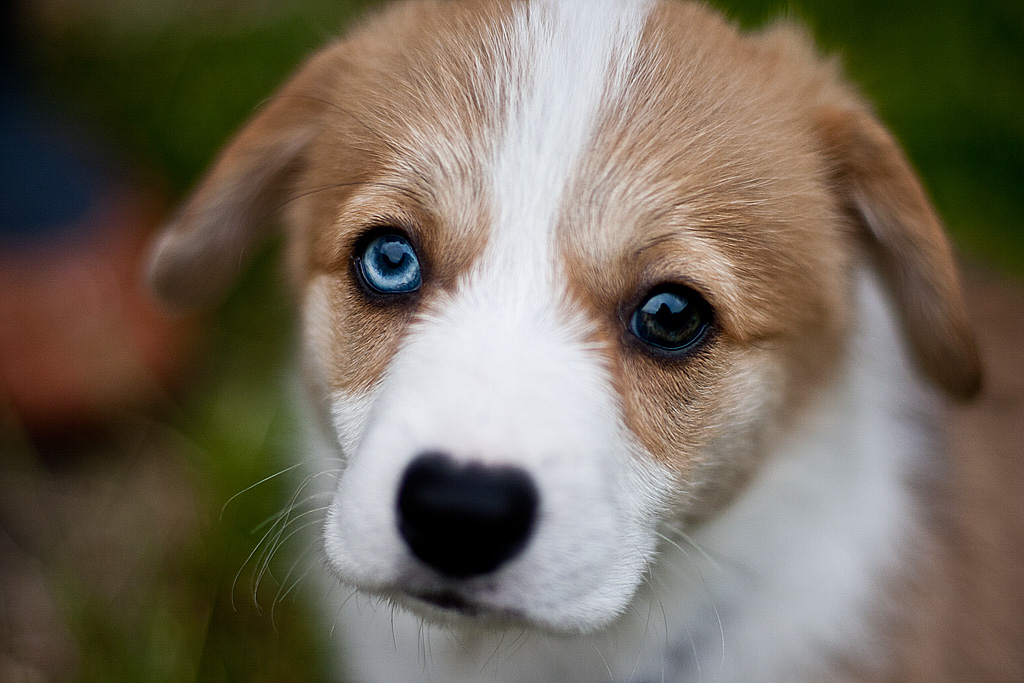 Dogs For Sale With Different Colored Eyes
