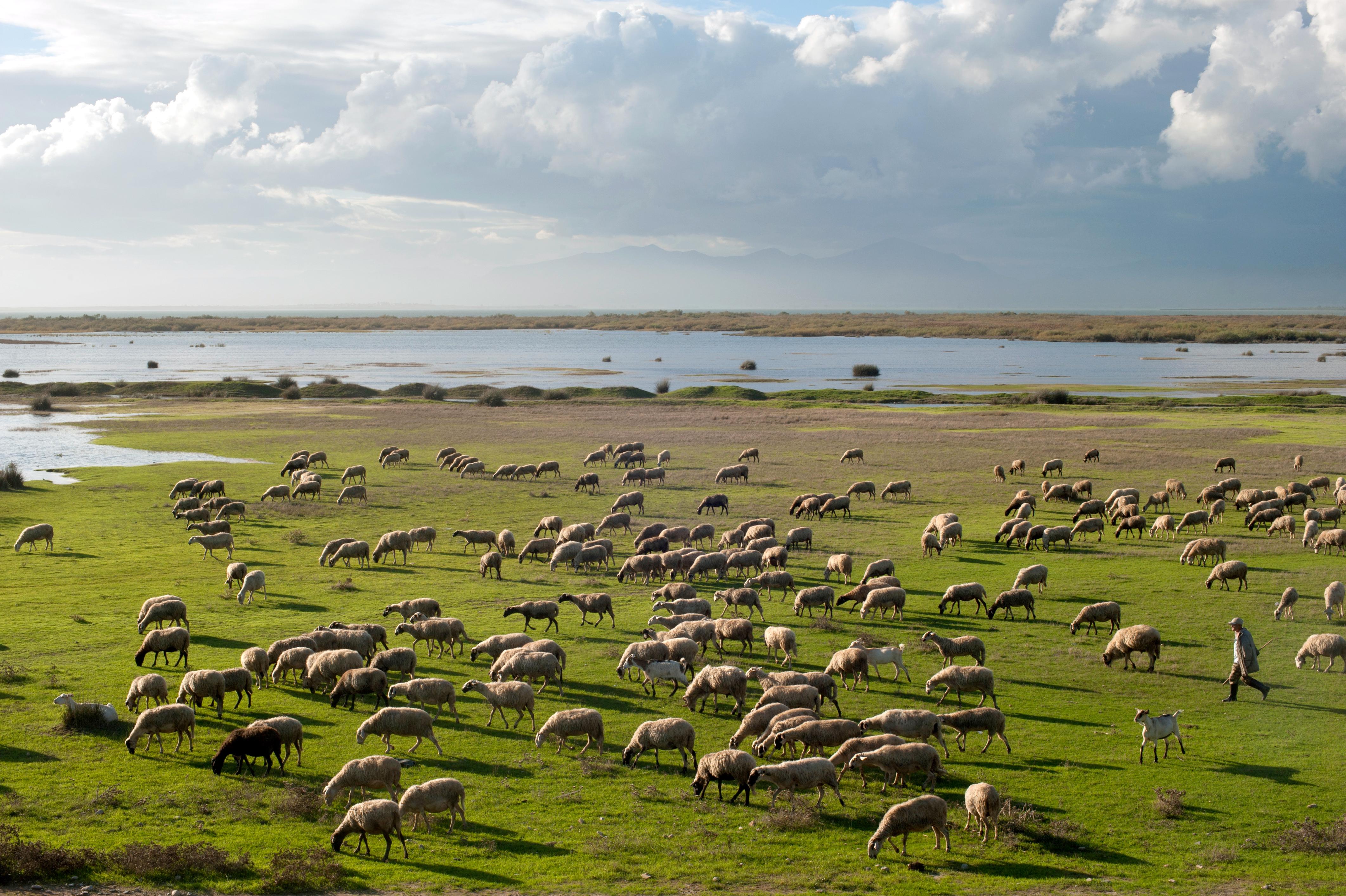 Sheep pasture shepherd