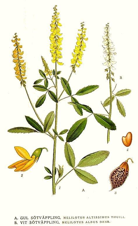 file325 melilotus albus m altissimusjpg wikimedia