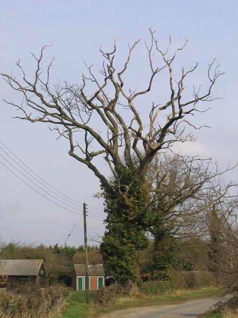 A Dead Tree, Bramerton - geograph.org.uk - 136945.jpg
