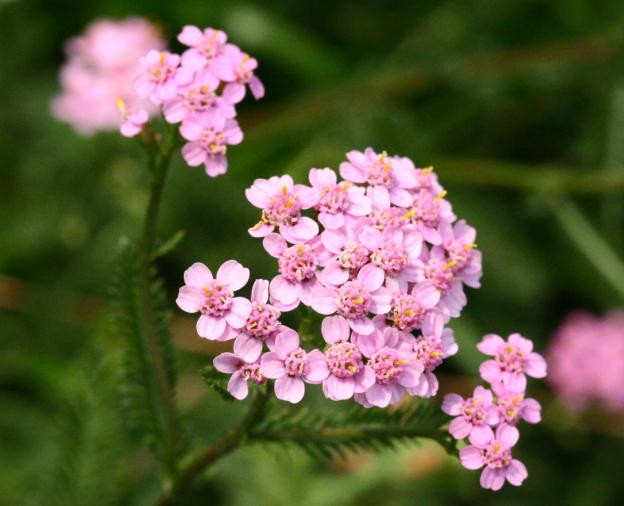 A list of perennial flowers from a to z with pictures achillea millefolium 01 mightylinksfo