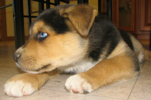 Blue Eyed Puppy Dogs