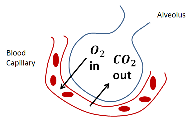 respiratory gas exchange Ventilation of respiratory surfaces non-directional ventilation: medium flows past gas exchange surface in an unpredictable pattern tidal ventilation external medium moves in and out of respiratory.
