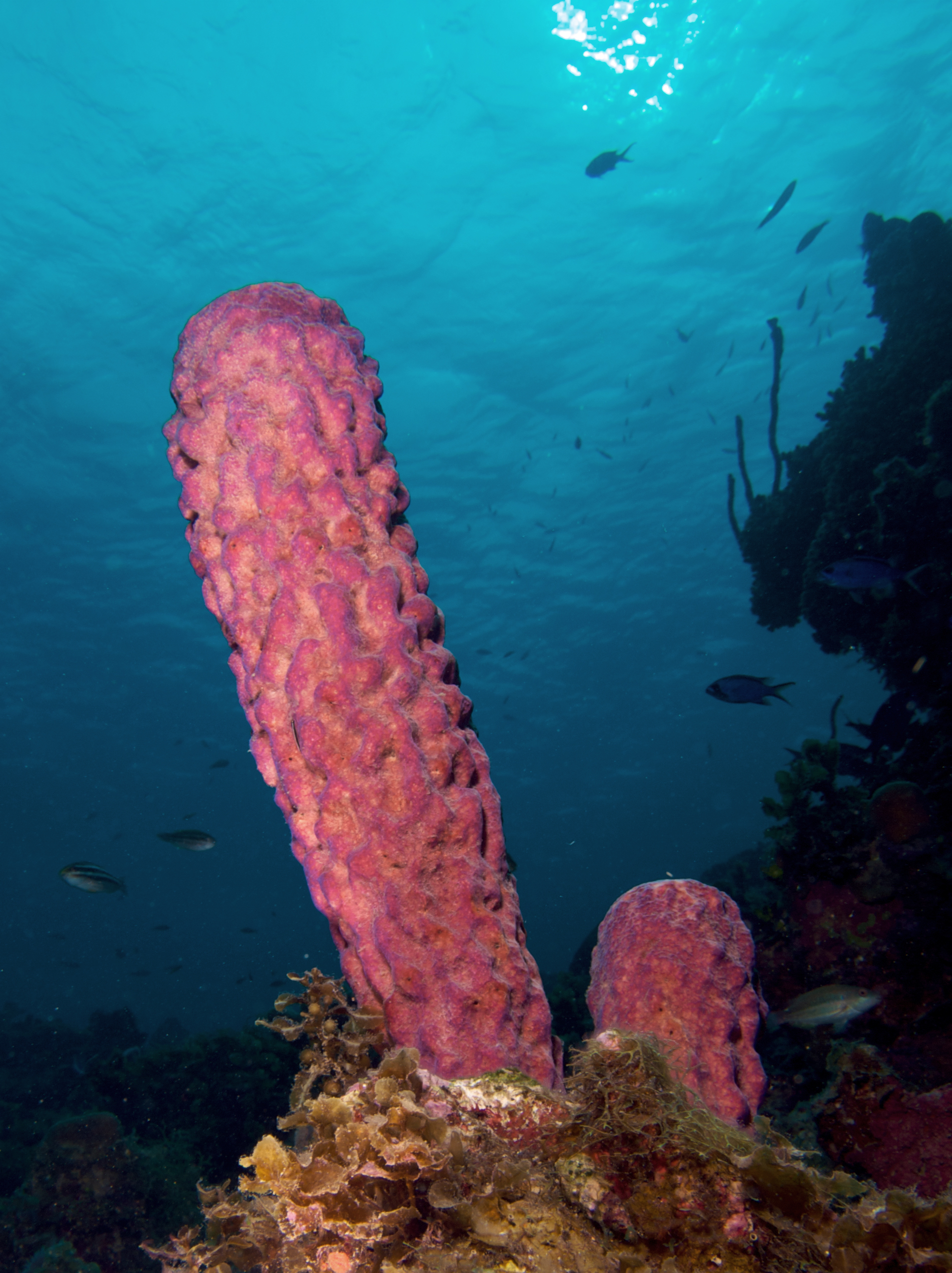 Sponges reproduce sexually through a process called
