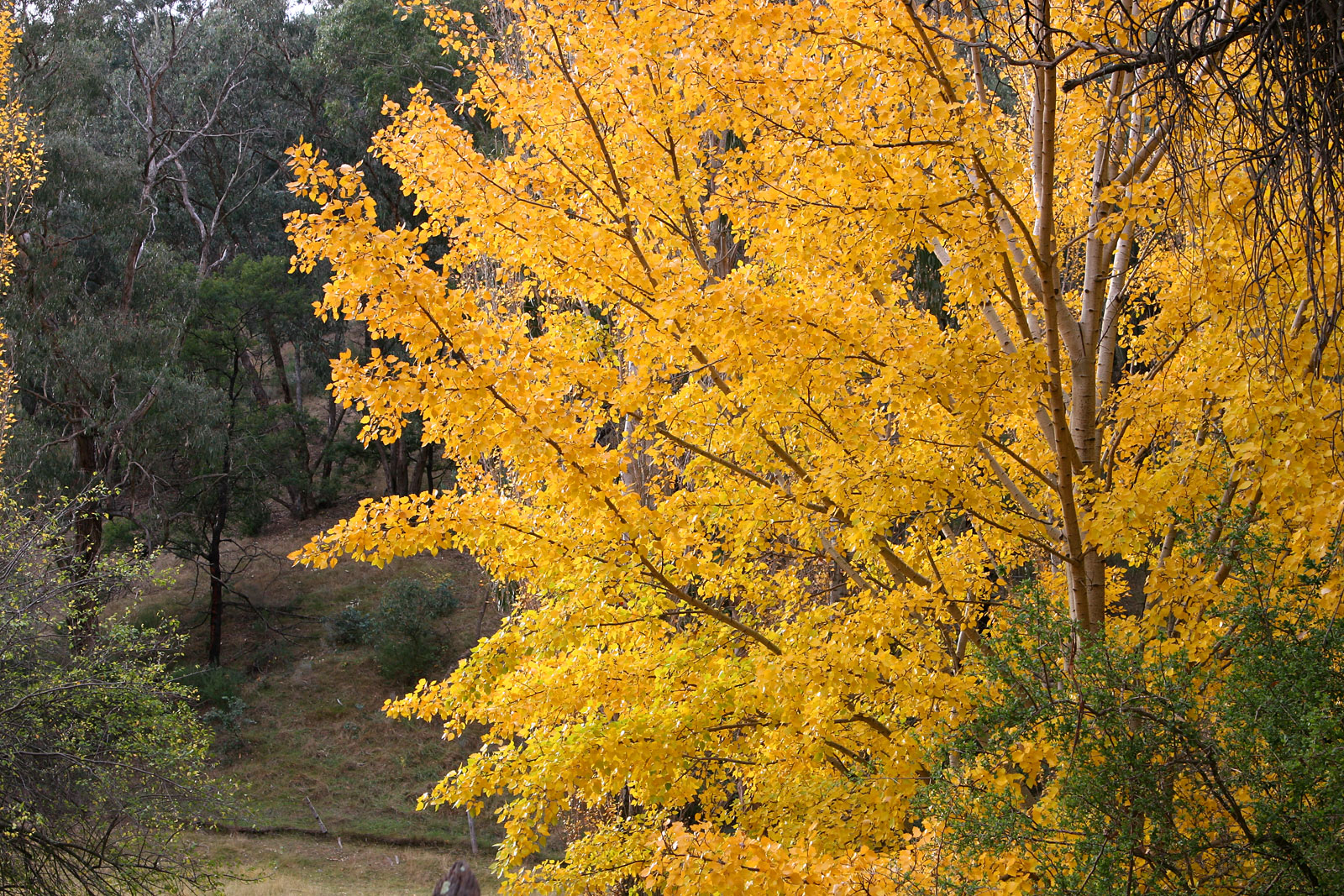 File autumn colors vs wikimedia commons for The evergreen