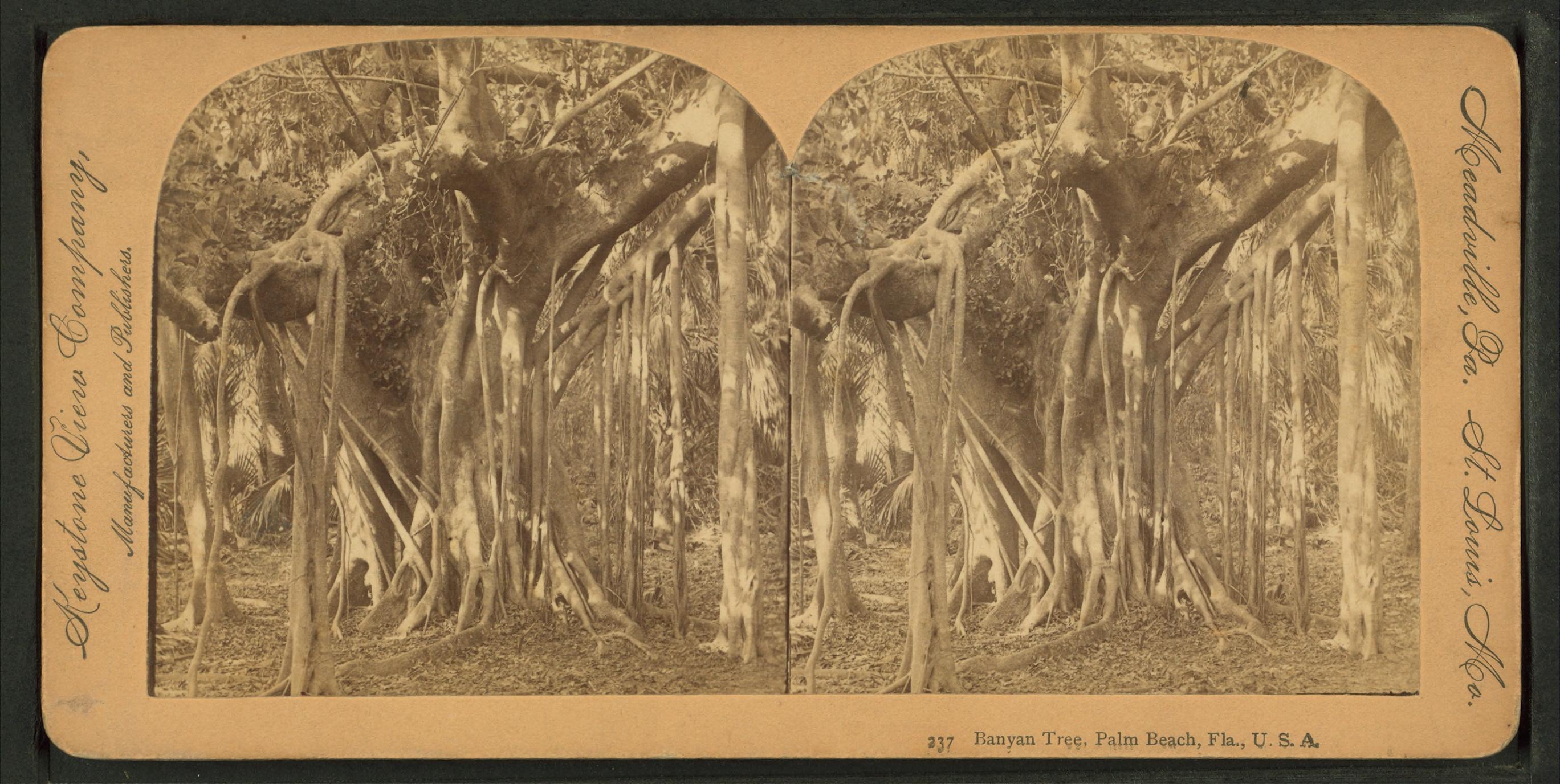 Banyan Tree Palm Beach County Fl