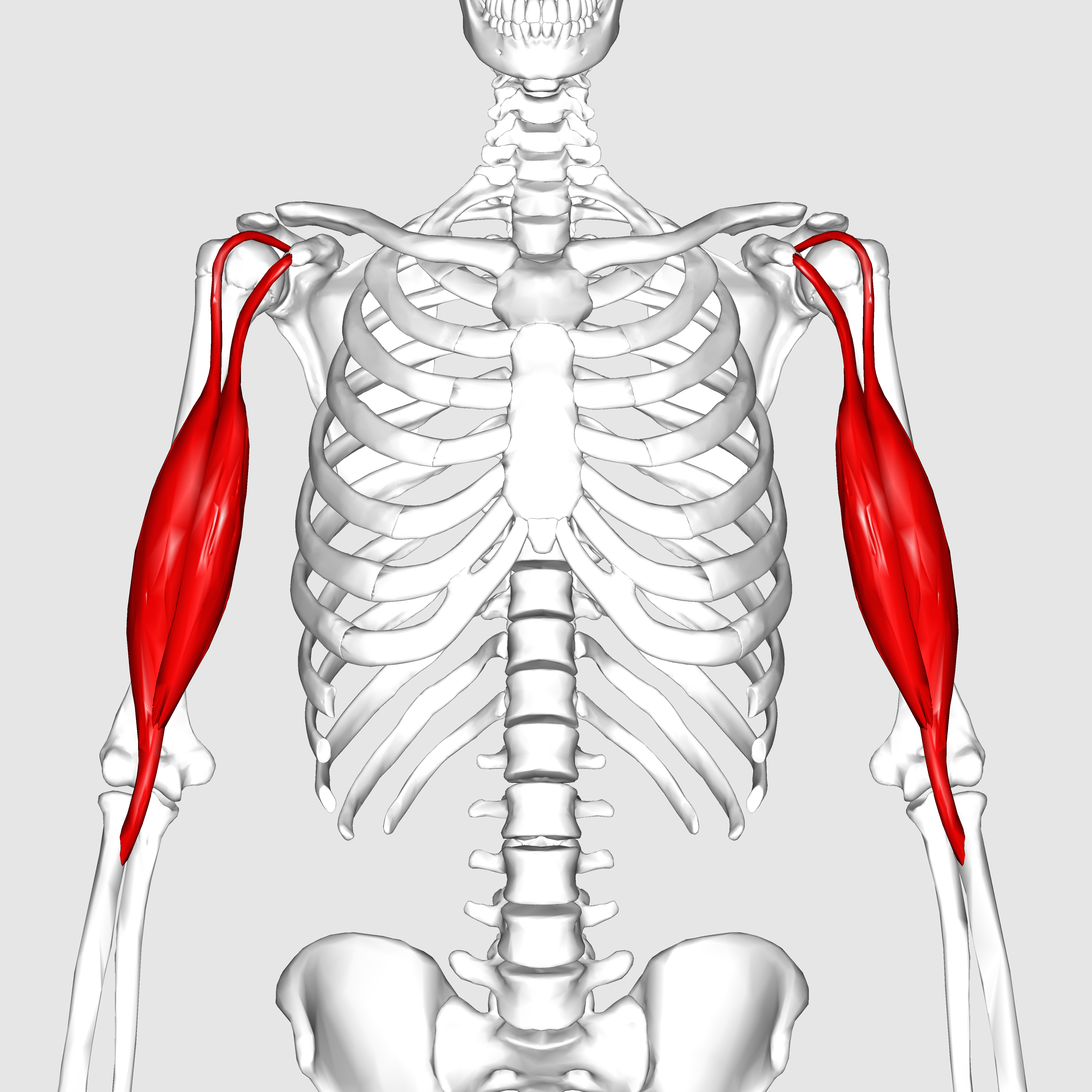 File:Biceps brachii muscle01.png - Wikimedia Commons
