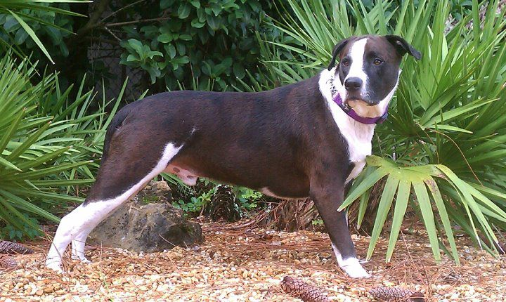 Catahoula Bulldog Wikipedia