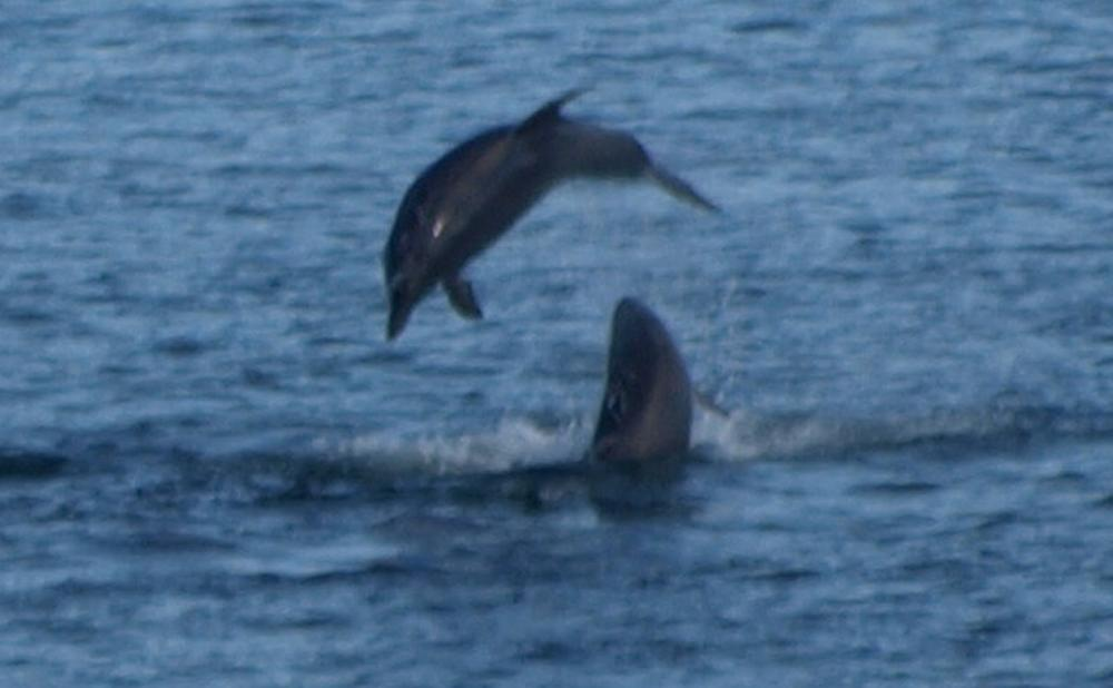 Bottlenose Dolphins Play In Sruwaddacon Estuary C Broadhaven C Erris C Co Mayo August