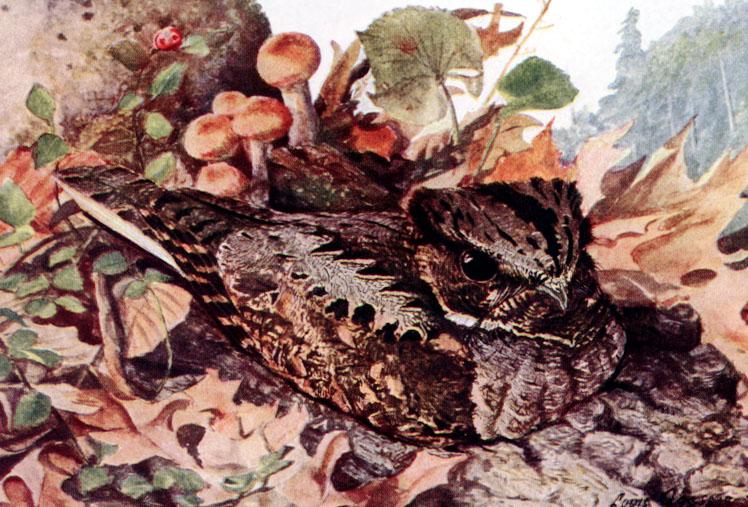 Depiction of Antrostomus vociferus