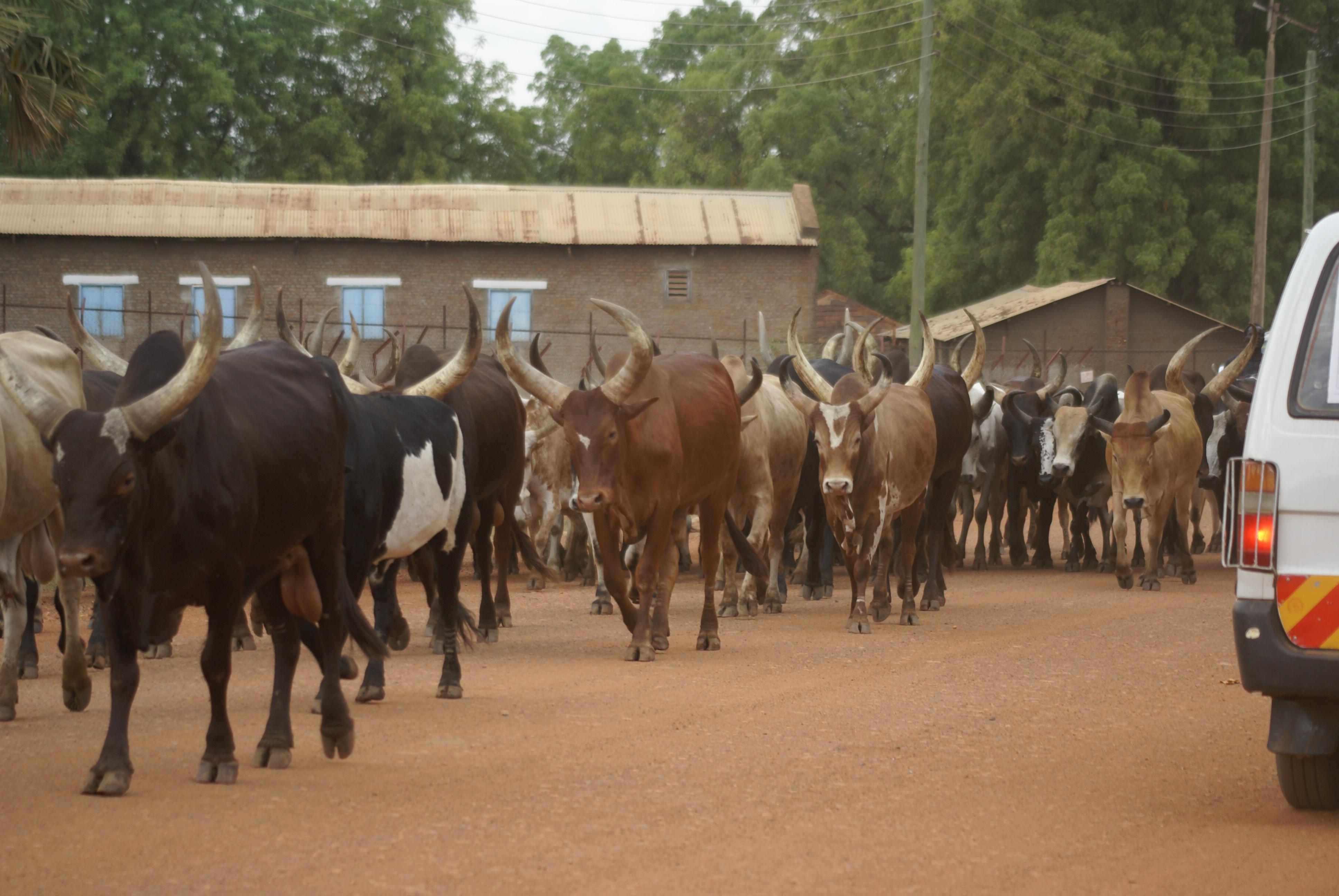 File:Cattle of the Dinka people, Juba, South Sudan - 20101230-05 jpg