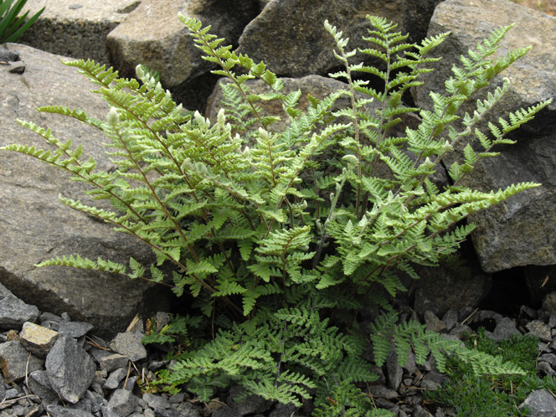 File:Cheilanthes lanosa 3 (FM).JPG
