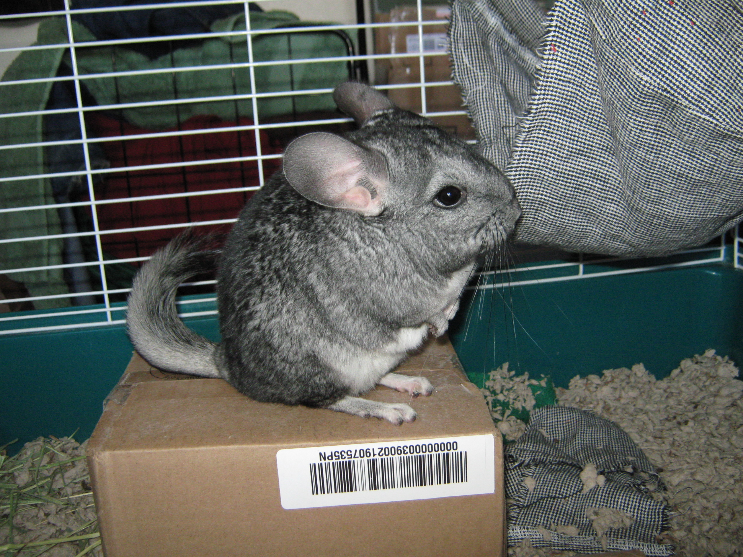 what is a chinchilla It's actually pretty easy i used to breed, show, and sell chinchillas, and i also was  involved in chinchilla rescue, fostering, and adoptions the main things to.