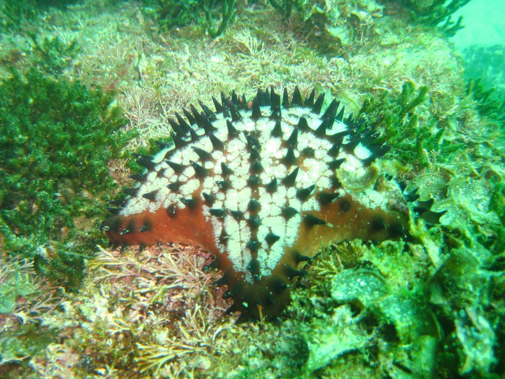 File:Chocolate Chip Starfish.jpg - Wikimedia Commons