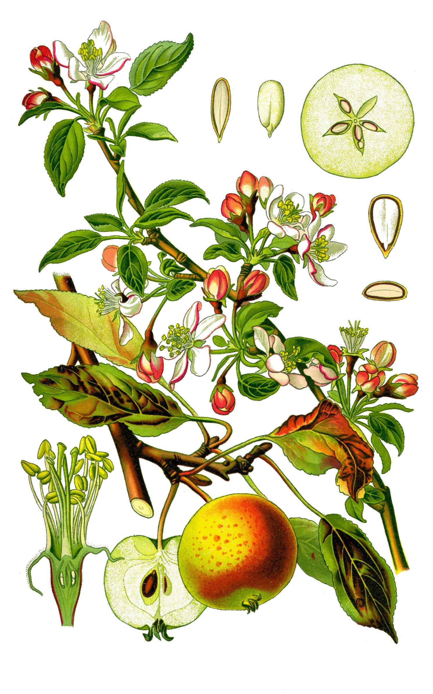 Viljelty omenapuu