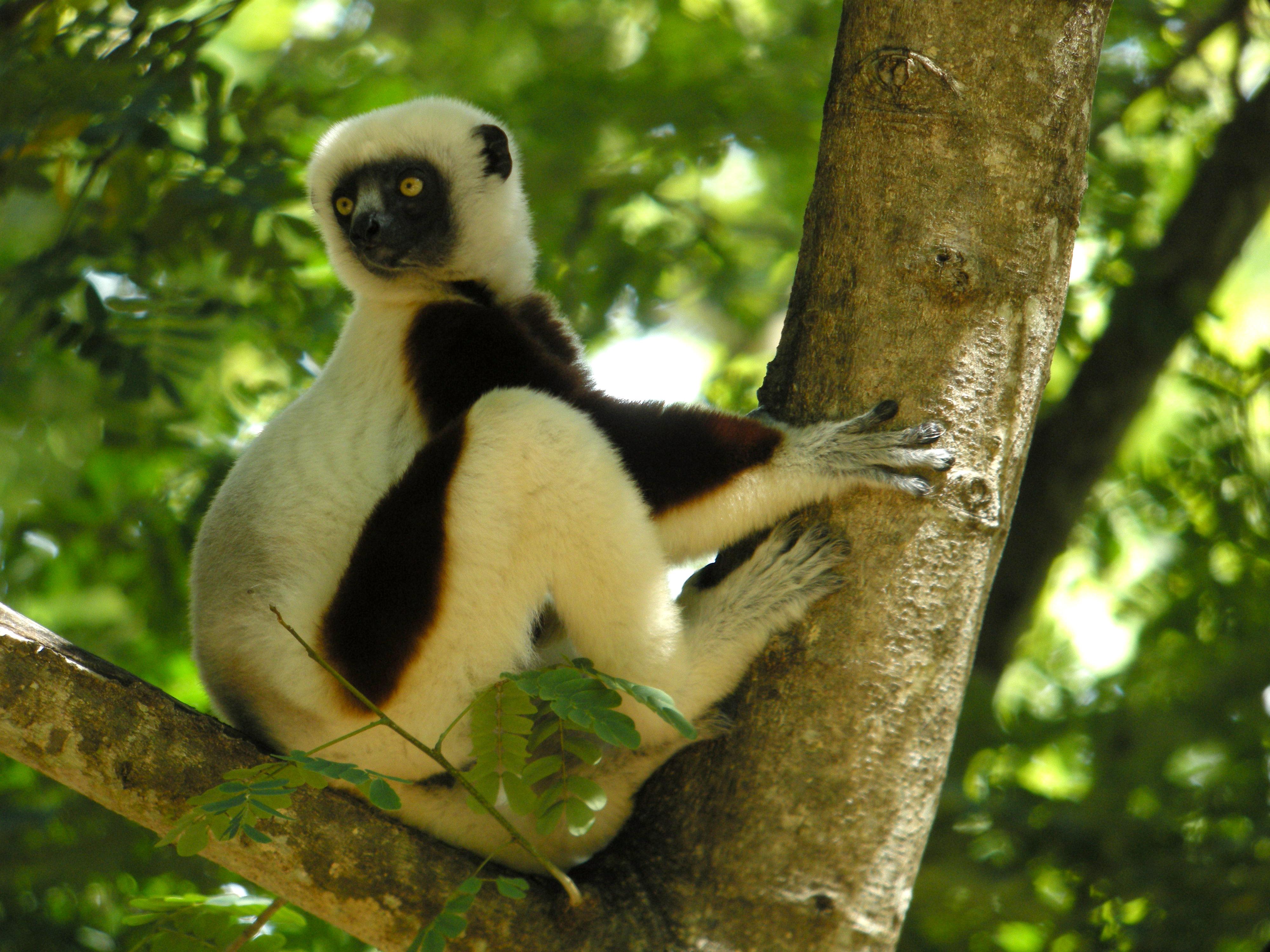 l'animal de Martin du 3 juillet trouvé par Snoopie Coquerel%27s_Sifaka,_Ankarafantsika,_Madagascar_2