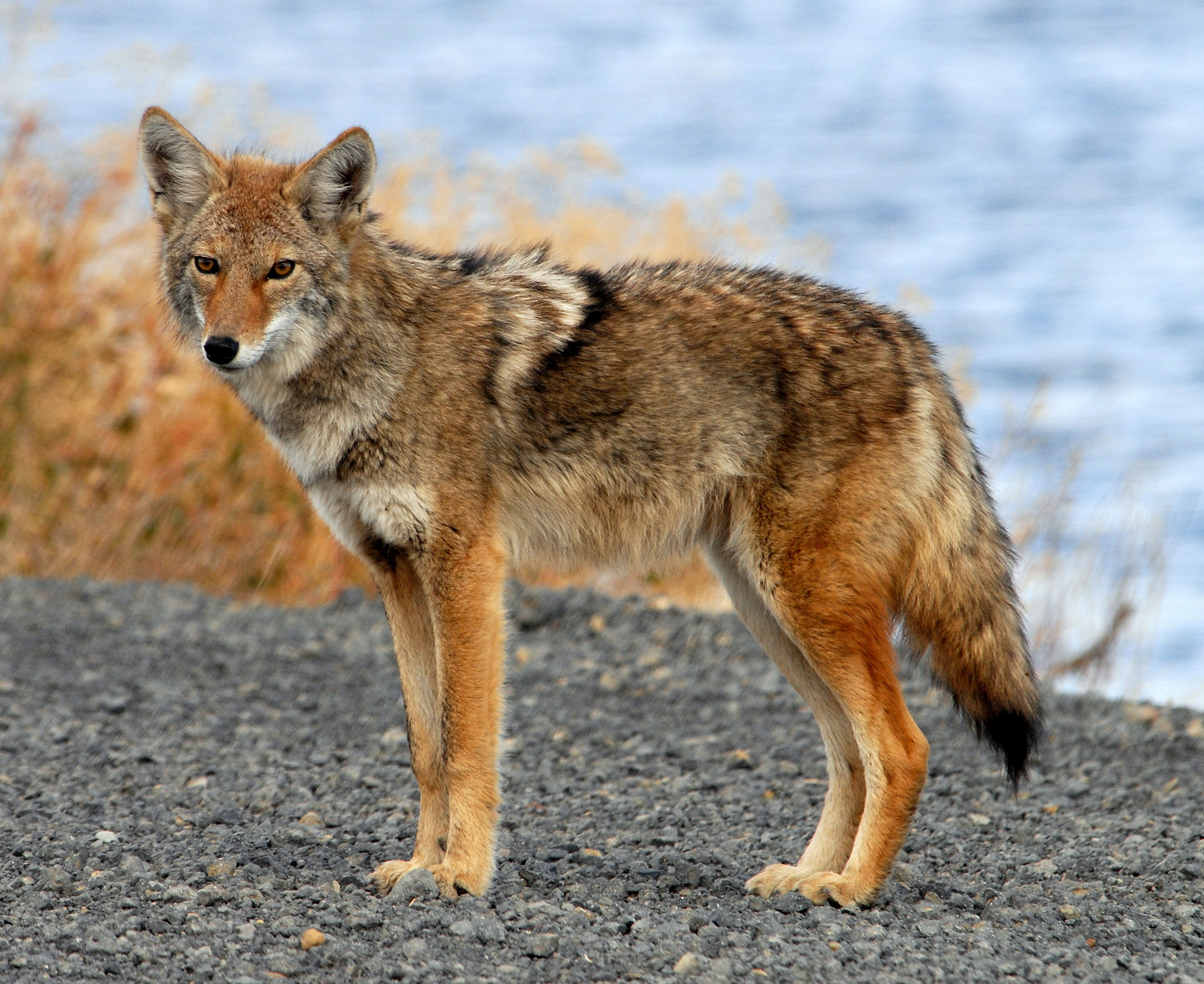File:Coyote Tule Lake CA.jpg - Wikimedia Commons