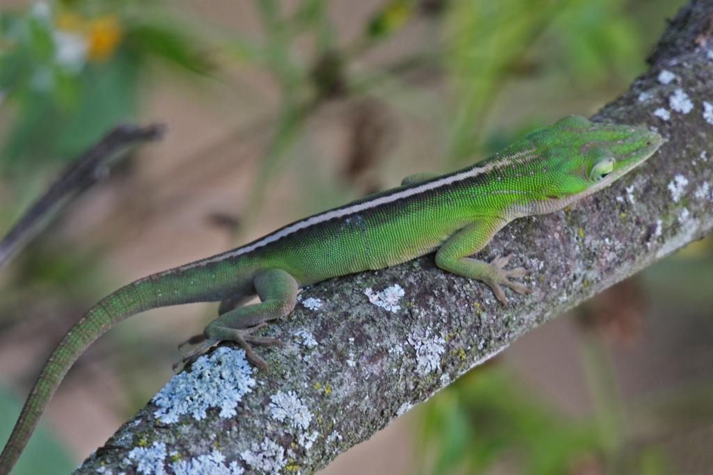 cuban green anole