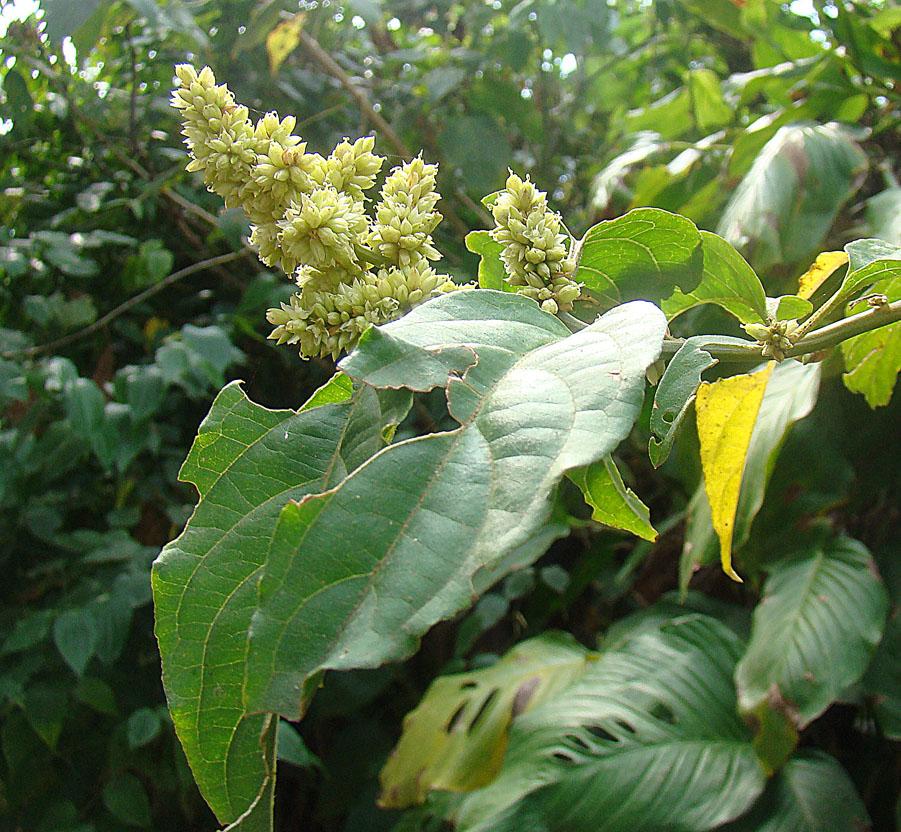 Cyathula achyranthoides (9372920673).jpg © Dick Culbert from Gibsons, B.C., Canada
