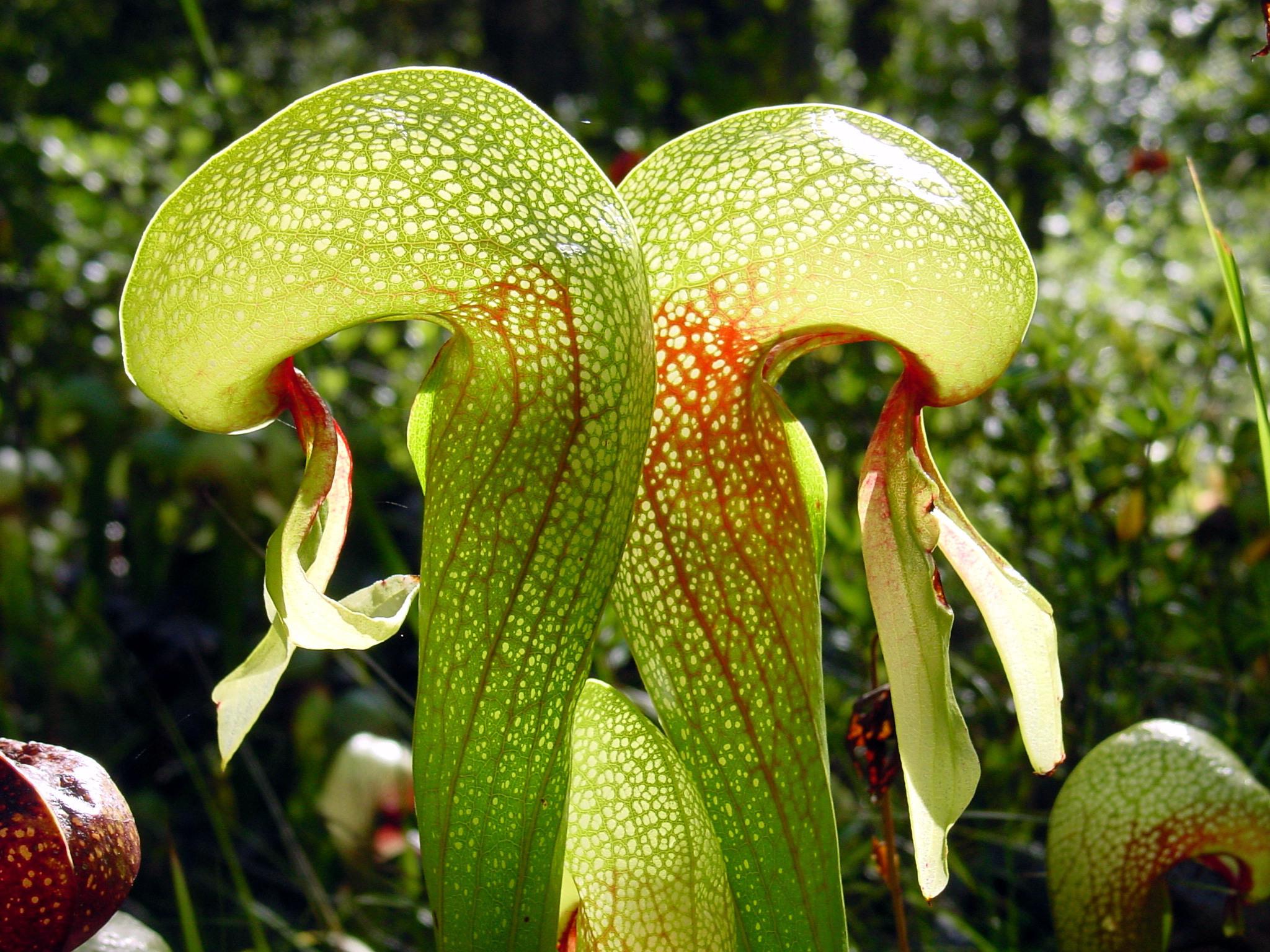 Image result for california pitcher plant