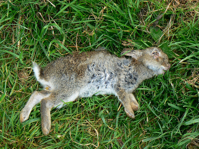 Dead_rabbit%2C_near_Cuckoo%27s_Knob_-_geograph.org.uk_-_1326830.jpg