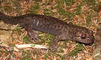 pacific giant salamander  Pacific giant salam...
