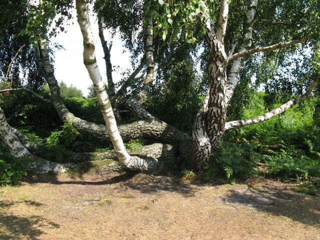 Distorted Birch on Chailey Common - geograph.org.uk - 1391046