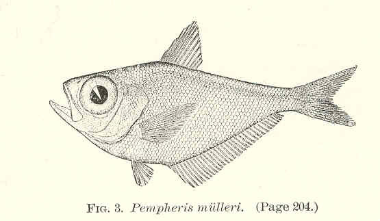 File:FMIB 37854 Pempheris mulleri.jpeg