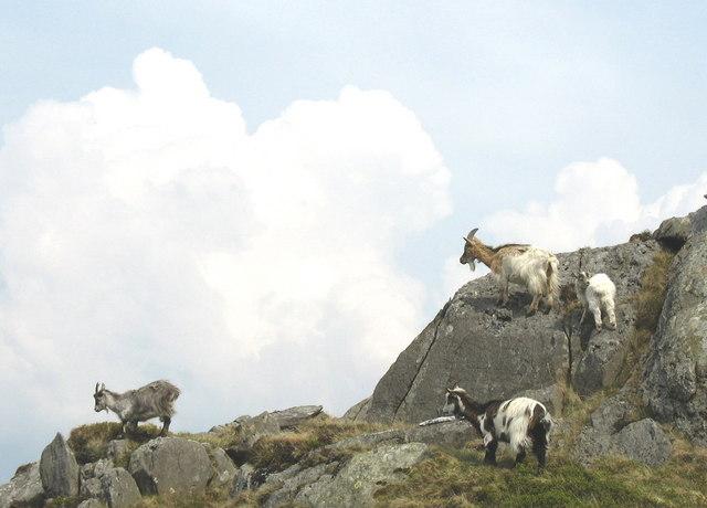 Cabras en el monte