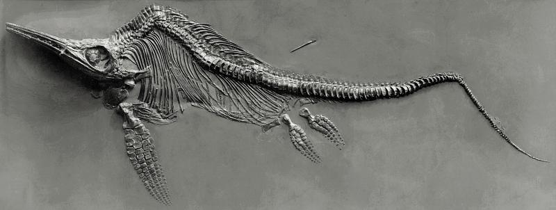 Fossile d'Ichthyosaure