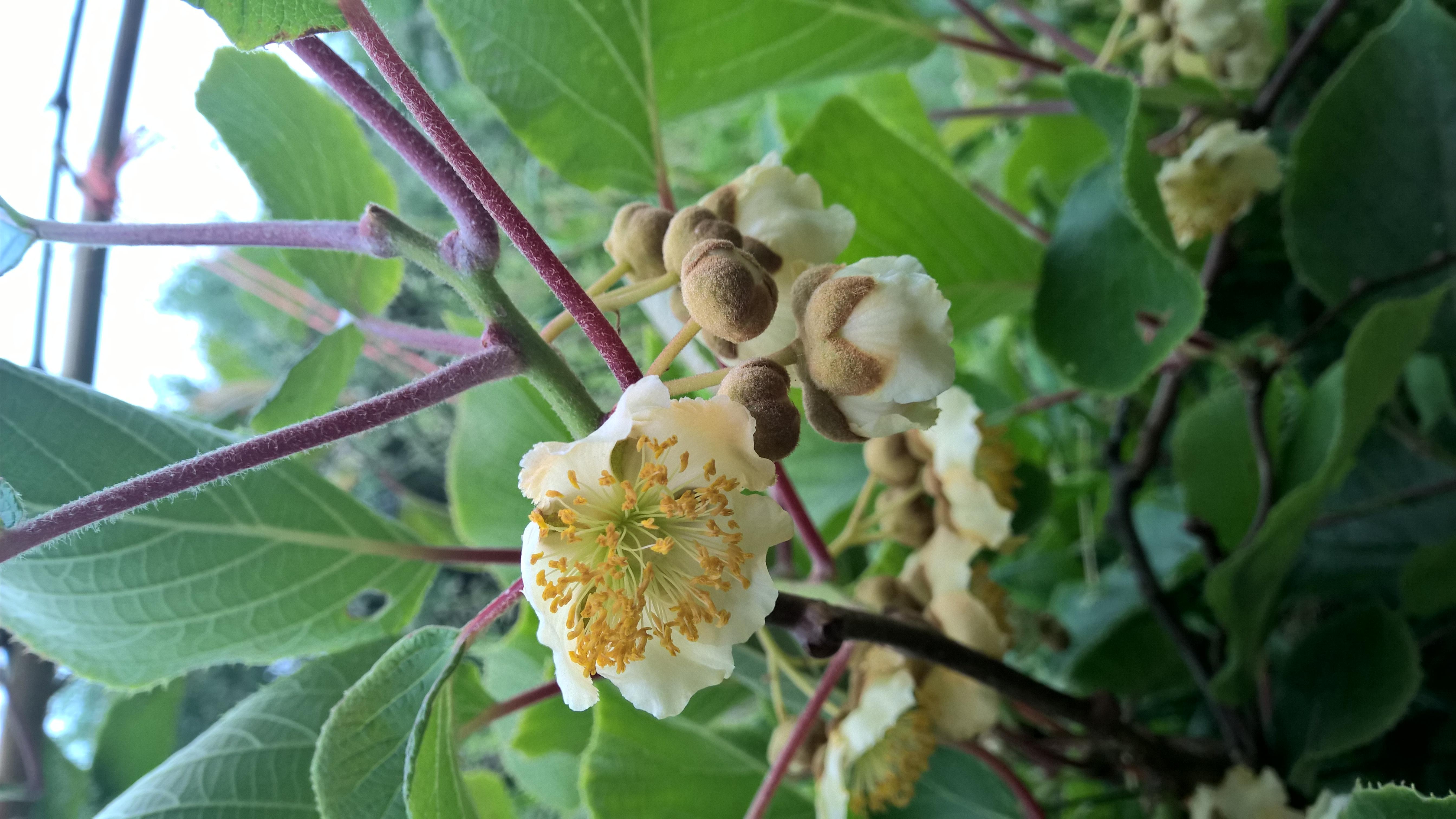 File Fleurs De Kiwi Viaouest Jpg Wikimedia Commons