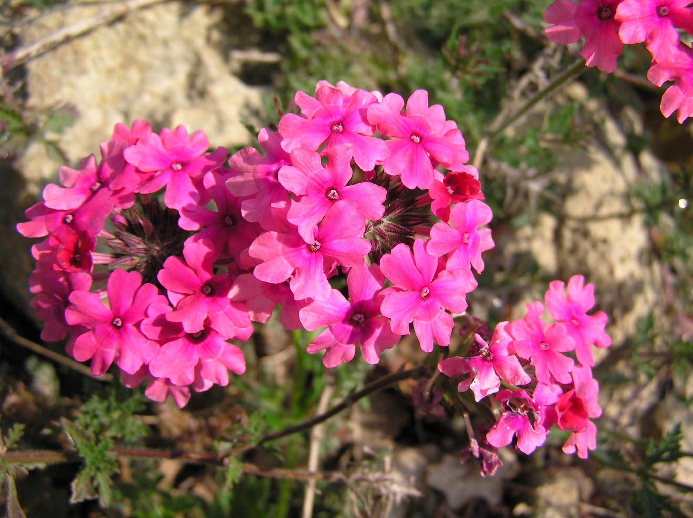 Description fleurs roses