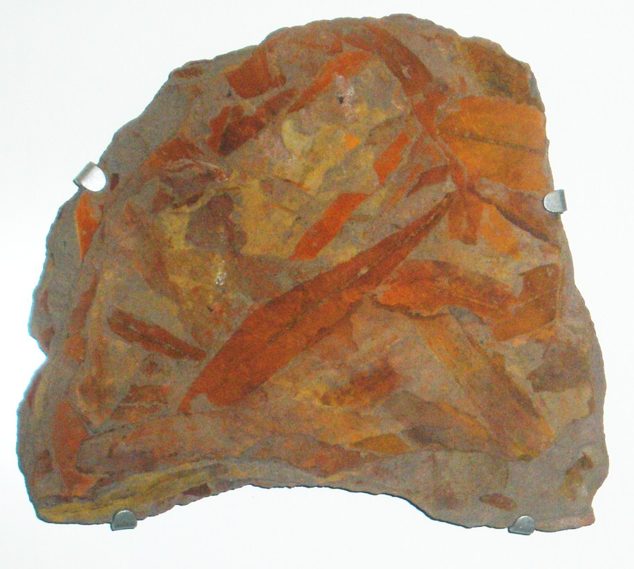 File:Glossopteris.jpg - Wikimedia Commons