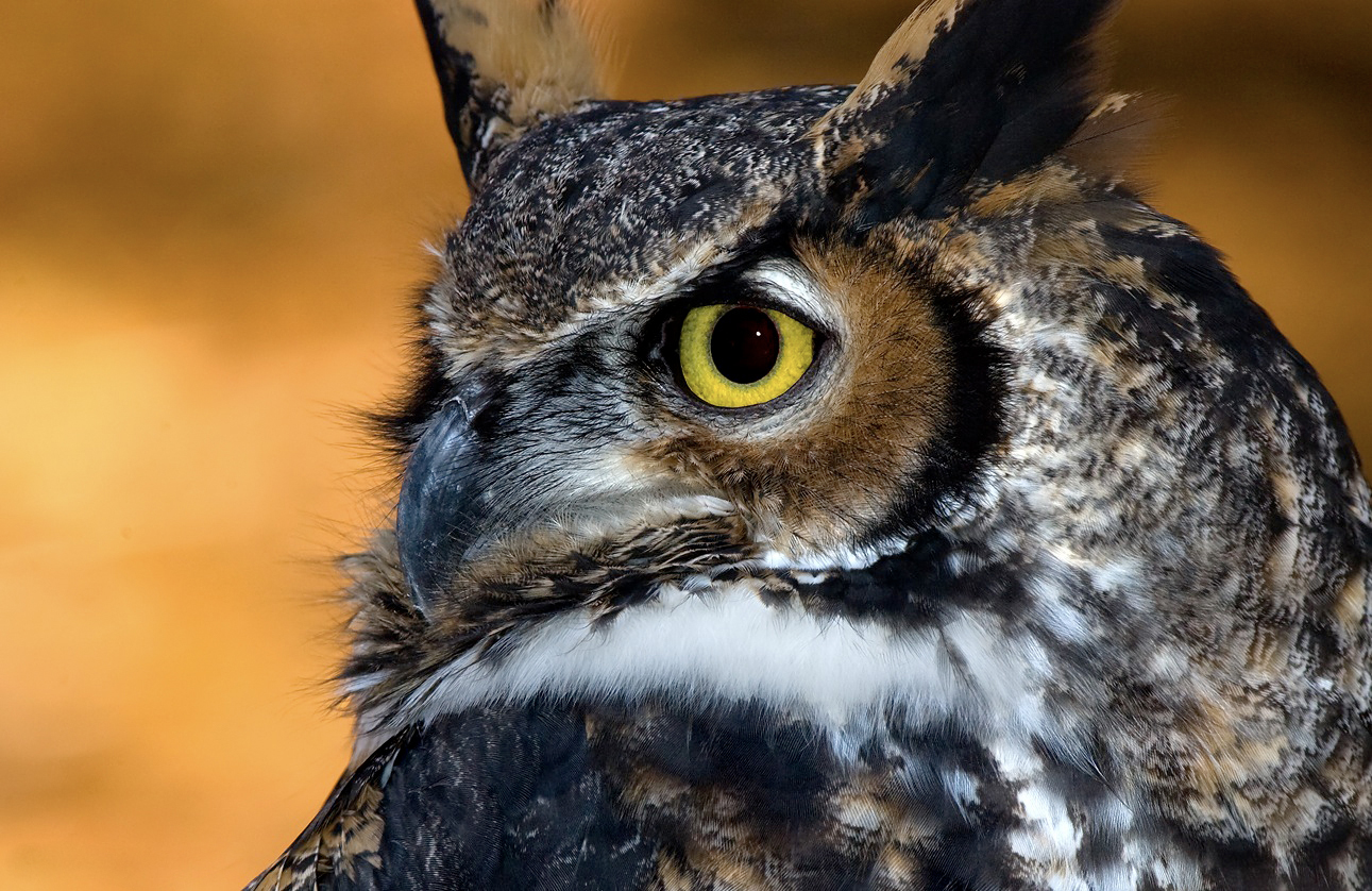 100% free online dating in owls head Here are 10 essential owl facts,  10 fascinating facts about owls share flipboard email print animals and nature animals and zoology birds basics.