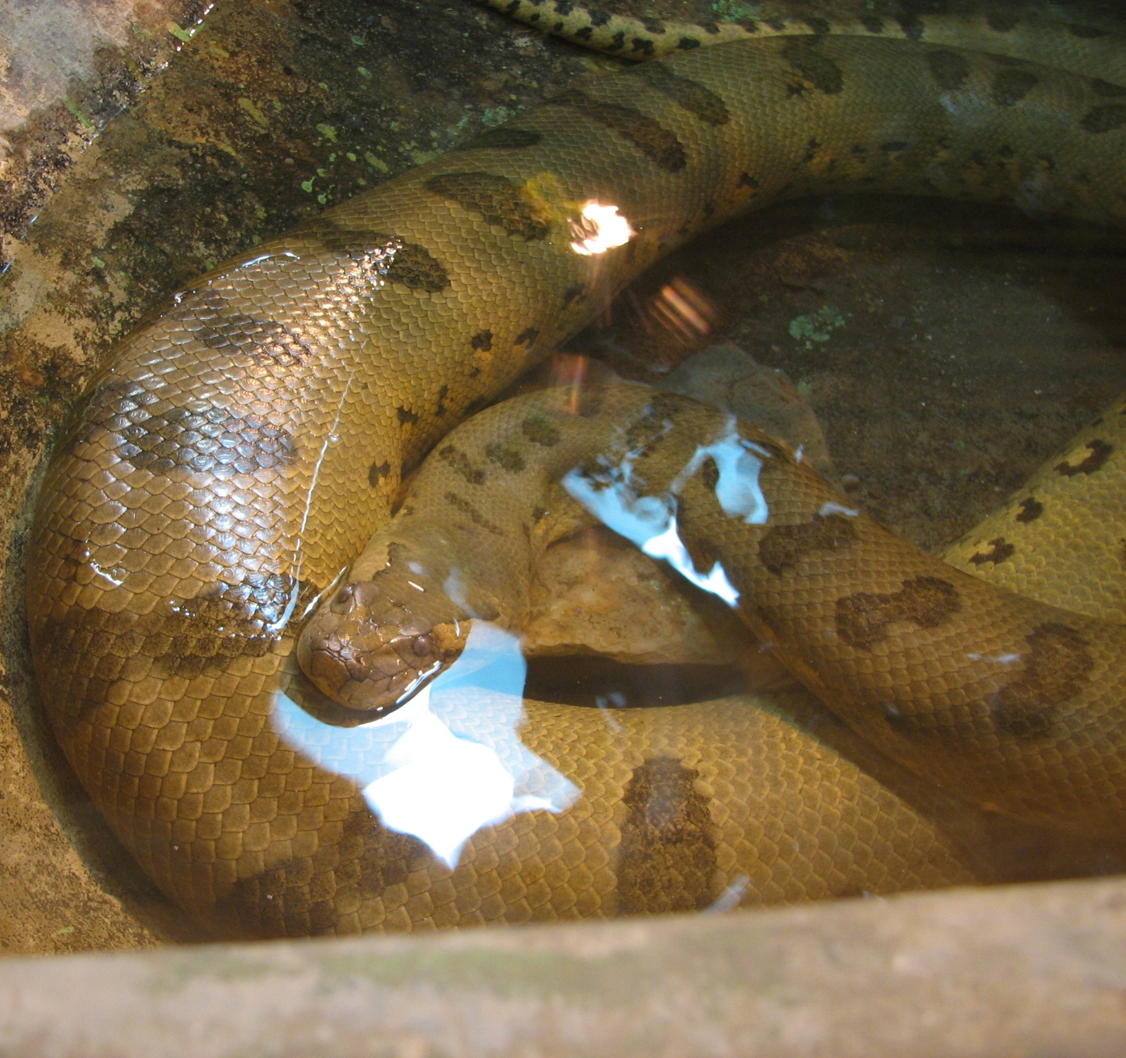 Description Green Anaconda Image 002.jpg