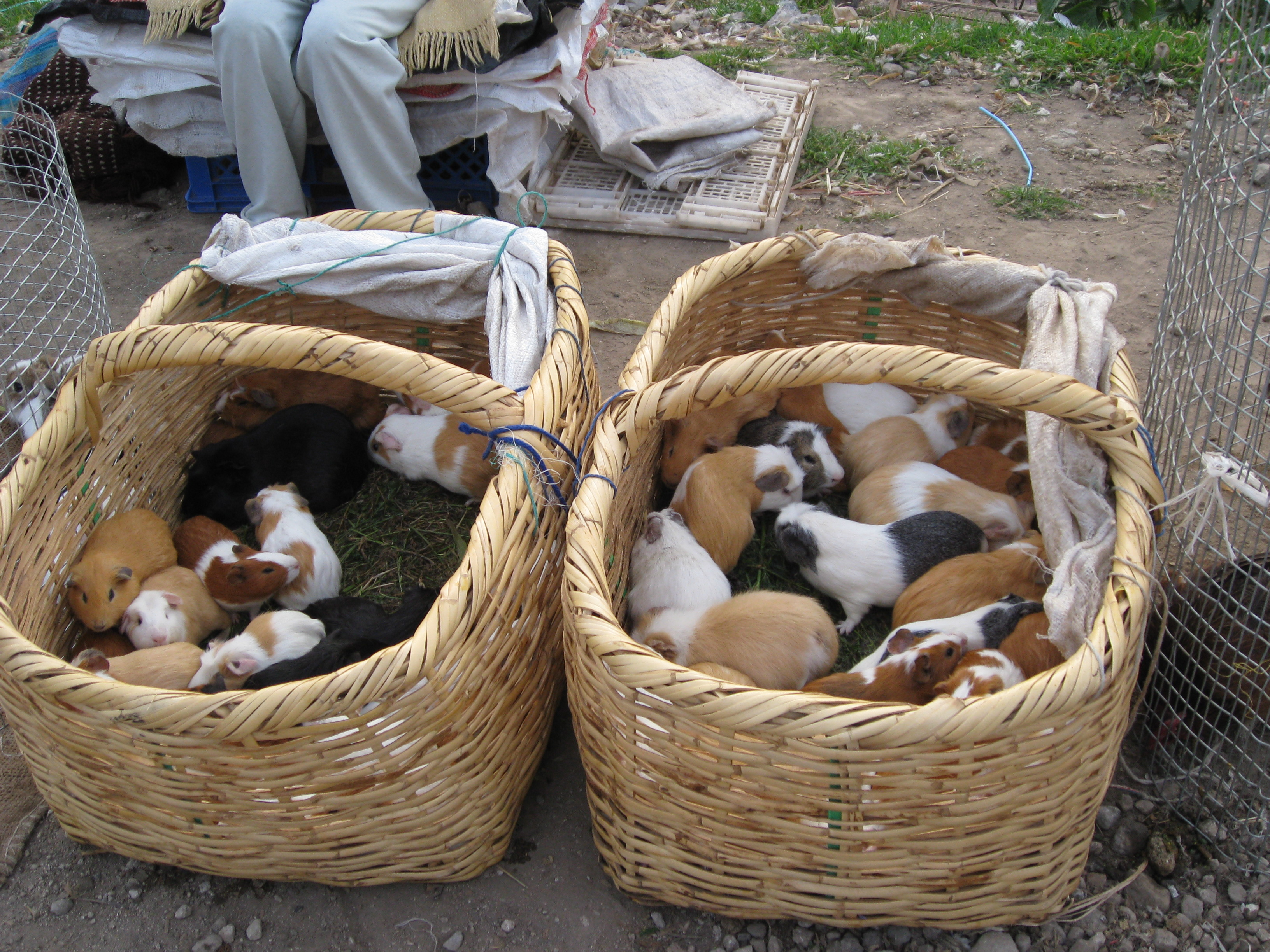 Many Guinea Pigs