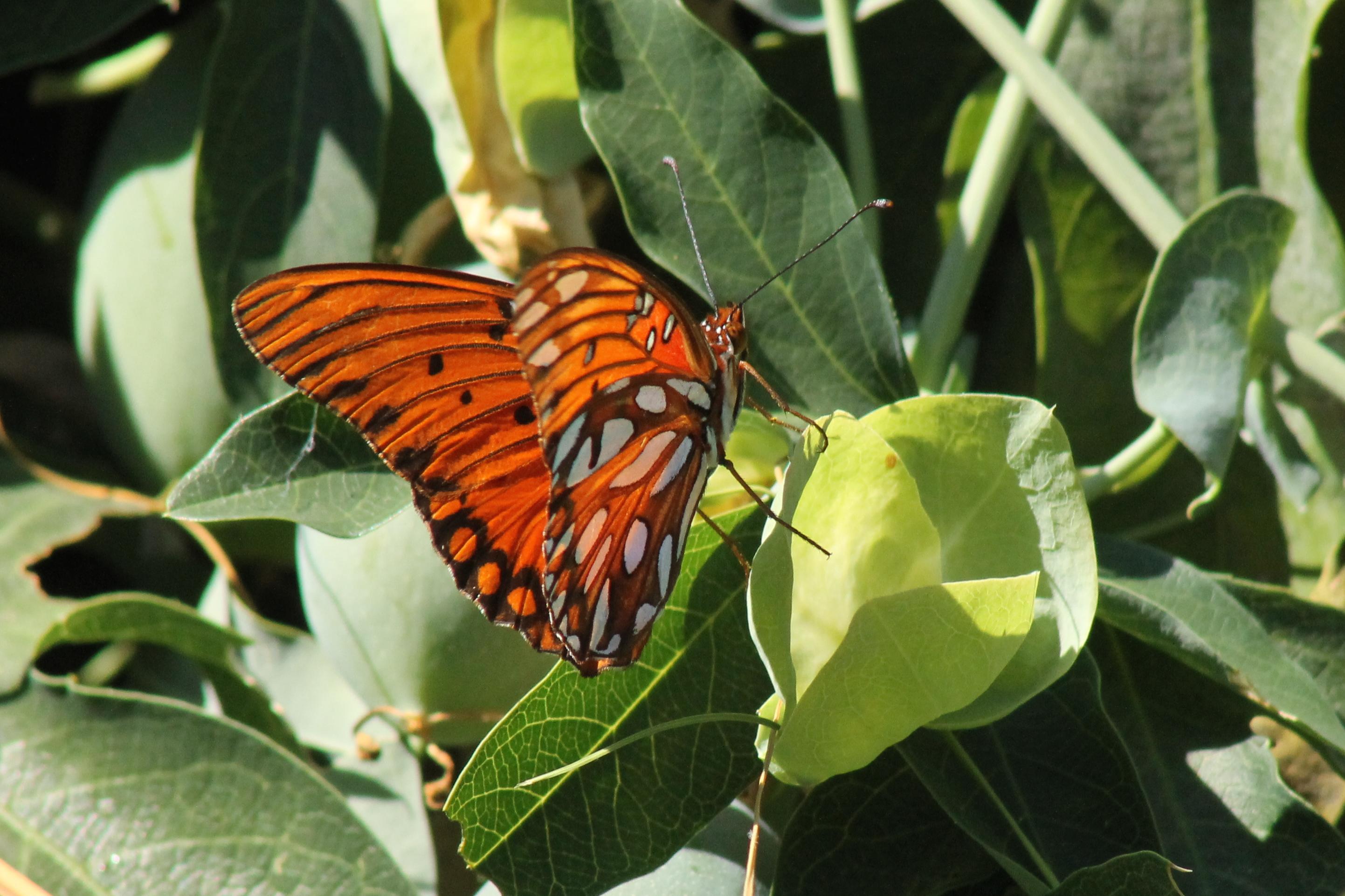 Especies de vid pasión que son seguros para orugas | Datos divertidos de la mariposa