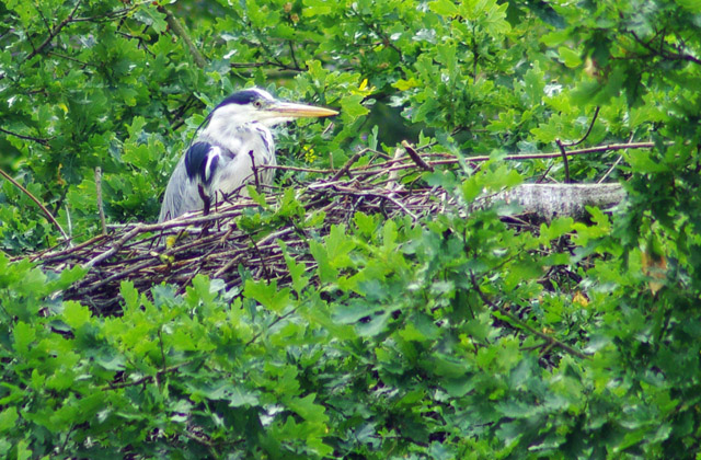 Heron nesting at Hermitage LNR - geograph.org.uk - 1383059