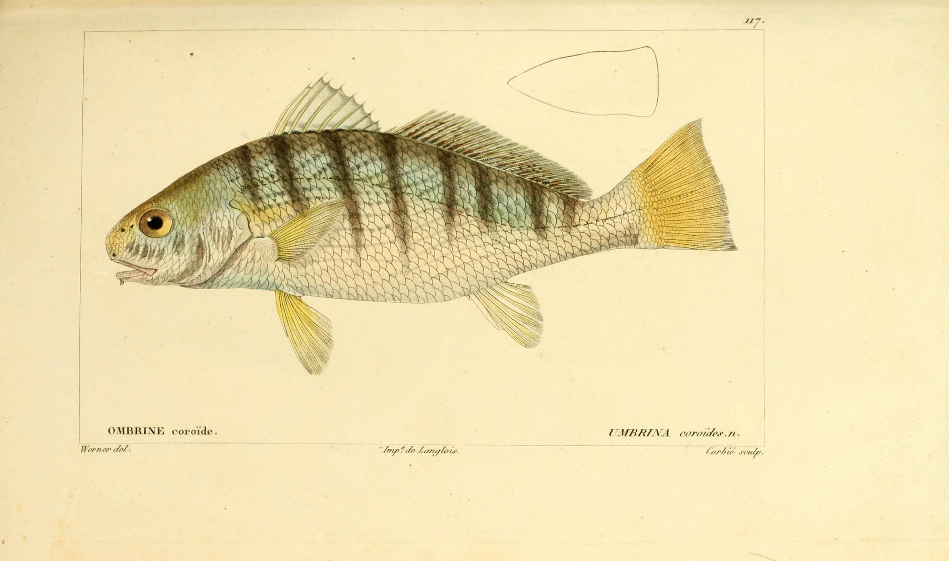 Histoire naturelle des poissons (Pl. 117) (7950010820).jpg © Buffon, Georges Louis Leclerc; Cuvier, Georges; Valenciennes