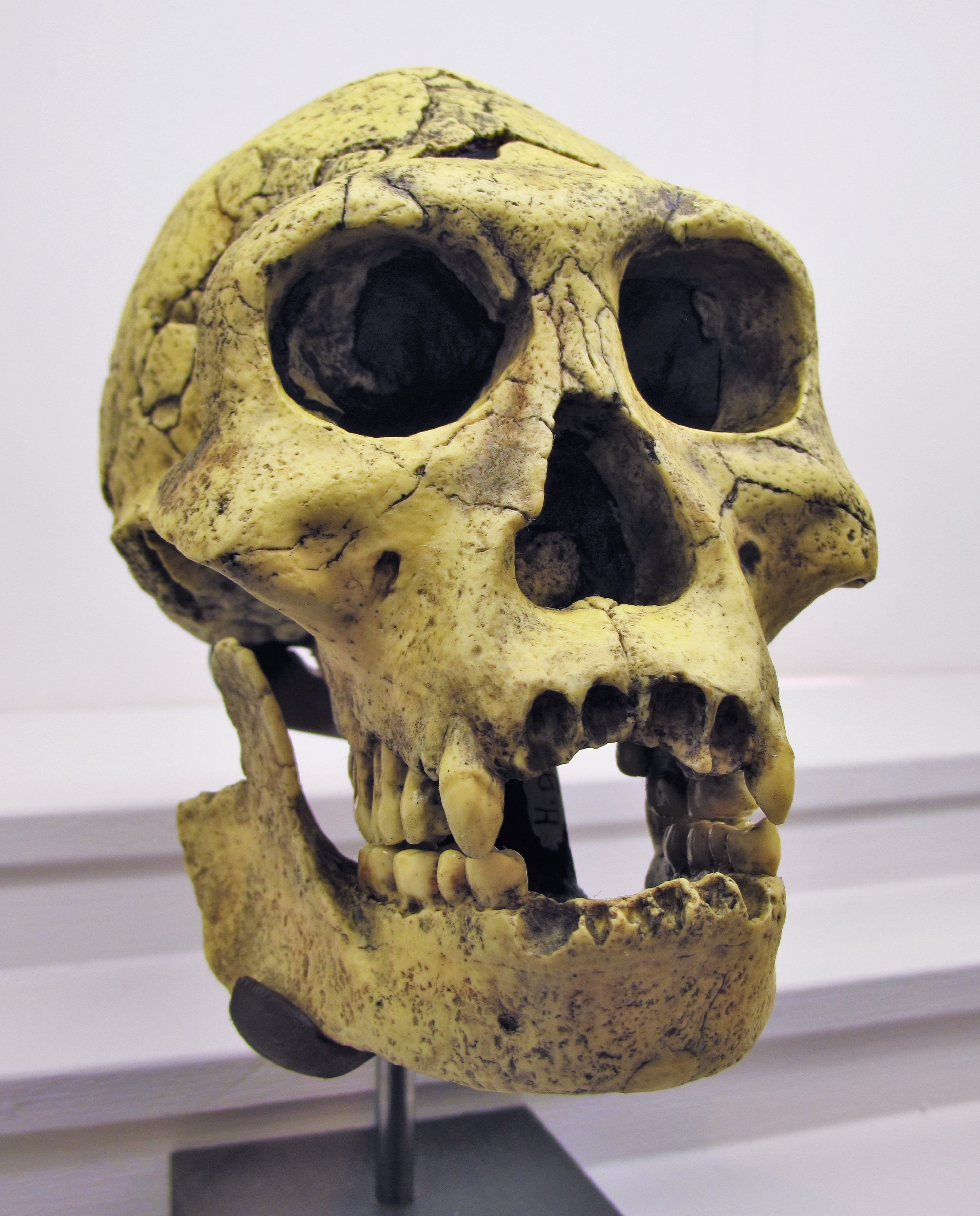 homo georgicus a type of hominid The five early hominids australopithecus afarensis, homo habilis,  studying hominids involves a fourth type of detective,.