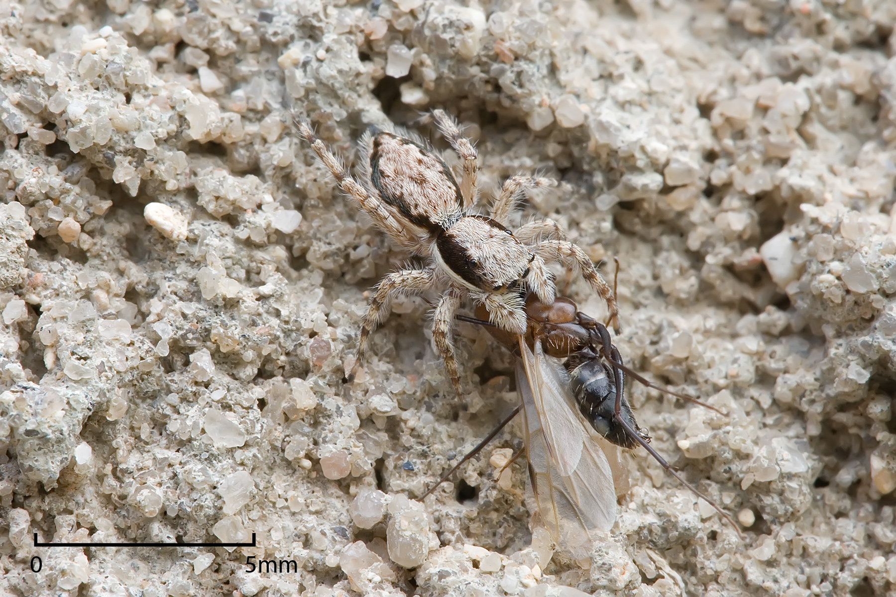 Spiders sometimes feed on ants