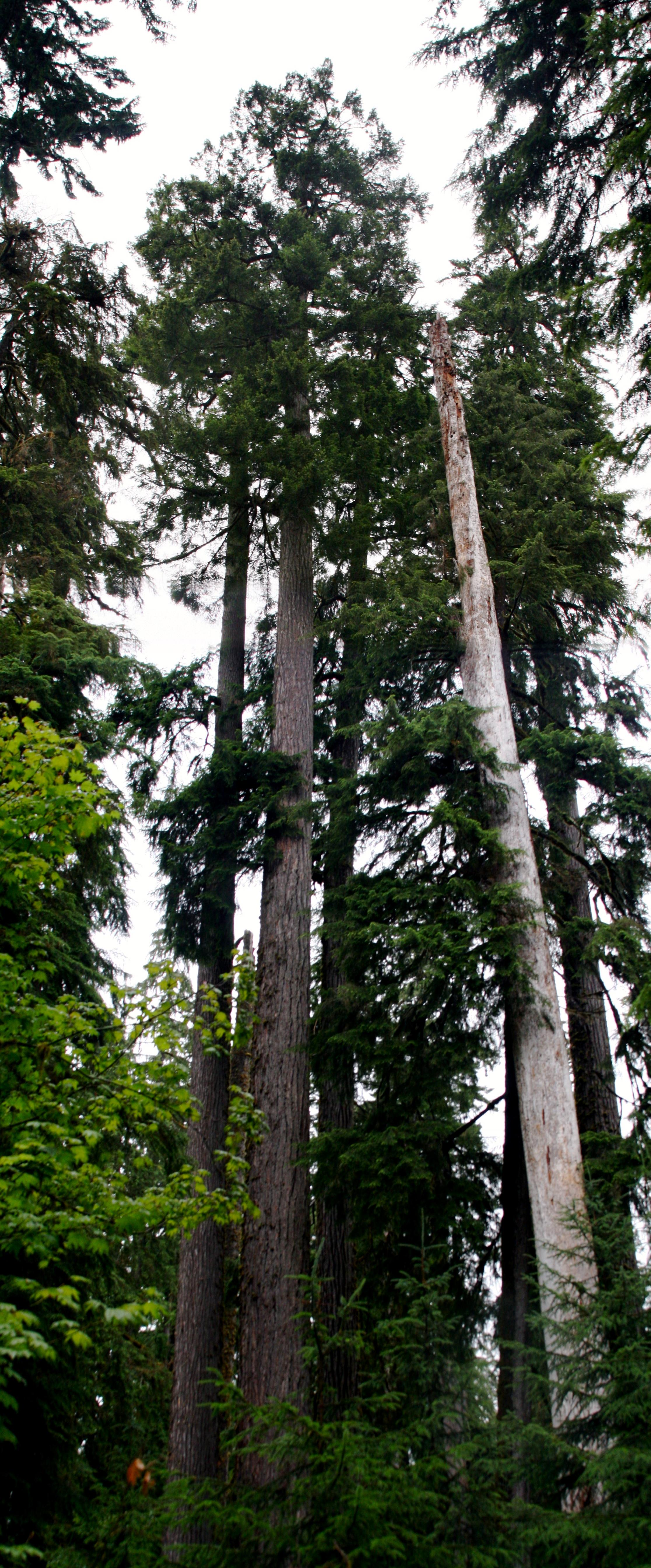 File:Large Douglas Fir; Hoh Rain Forest.jpg - Wikimedia ...  Douglas Fir Forest