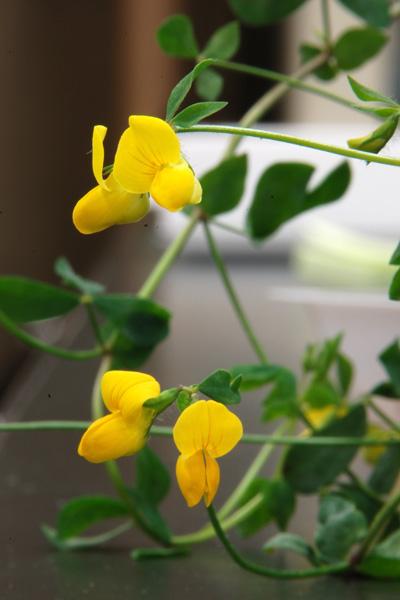 lotus japonicus  lotus corniculatus var  japonicus