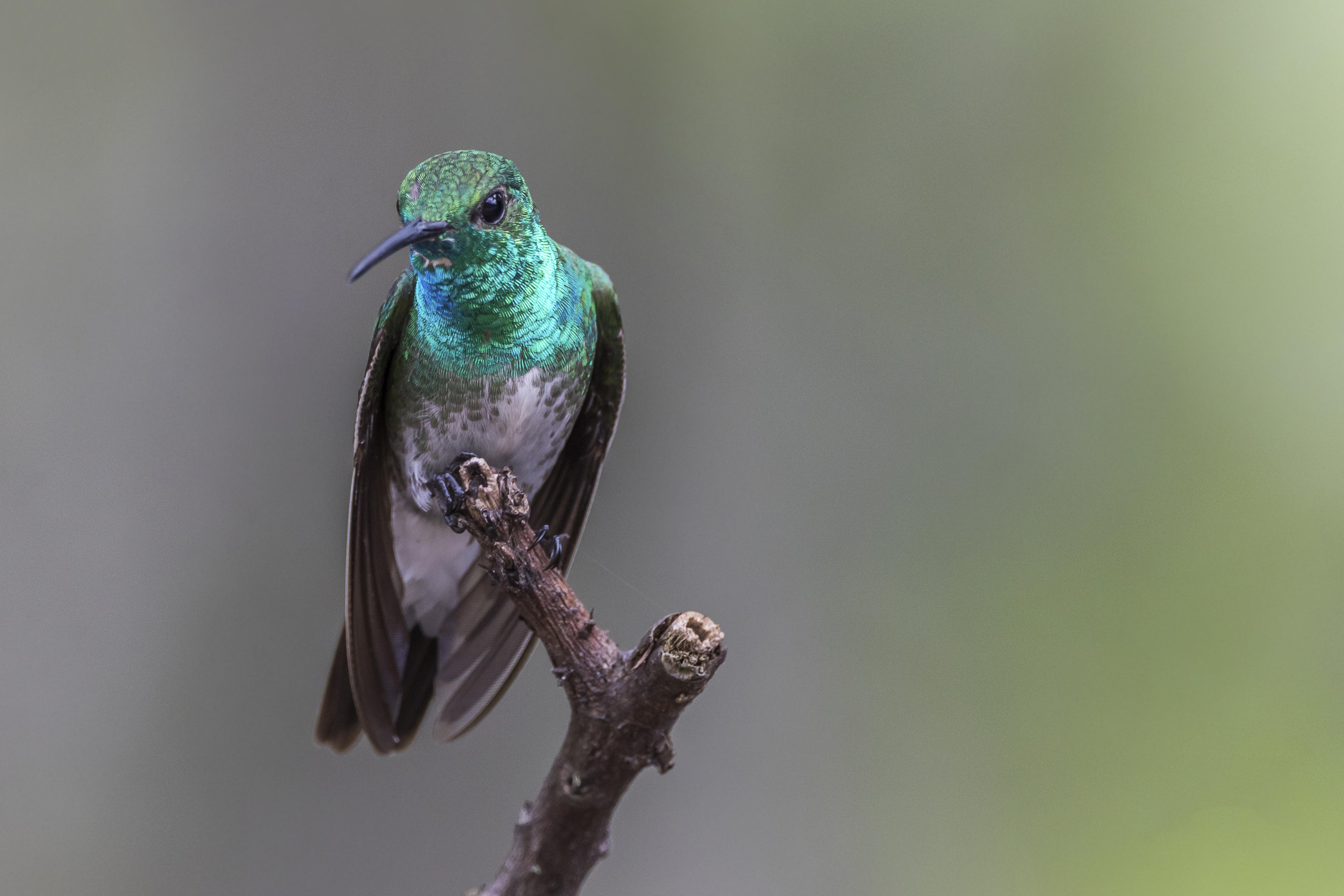 Mangrove hummingbird - Wikipedia