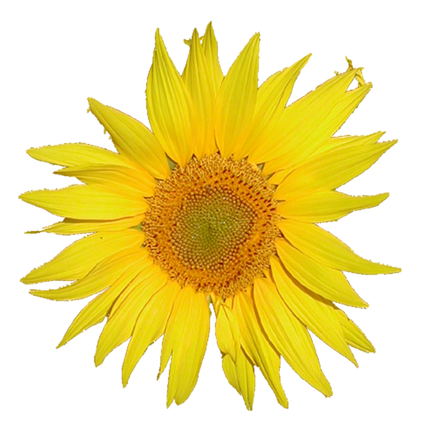 Sunflower Png Images Transparent Background: File:Mediawiki Logo, 3x From Tournesol Sunflower.png