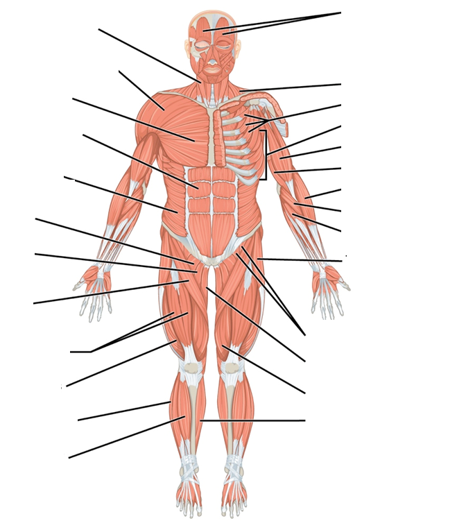 Muscle System Diagram Unlabeled Anterior View Trusted Wiring Diagram