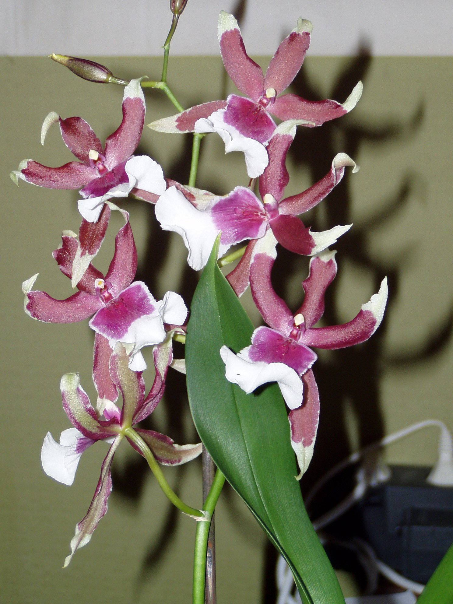 http://upload.wikimedia.org/wikipedia/commons/2/20/Odontoglossum_Cambria.jpg
